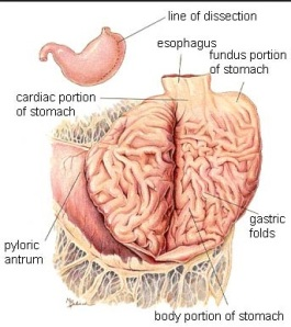 Dog stomach (Photo credit  Hill's Pet Nutrition)