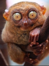 Tarsier (Photo credit, Ricky Garni)