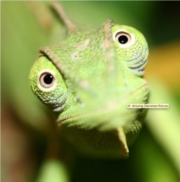 Chameleon, (Photo credit, somepets.com)