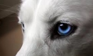 Dog eye (Photo credit, deviantart)
